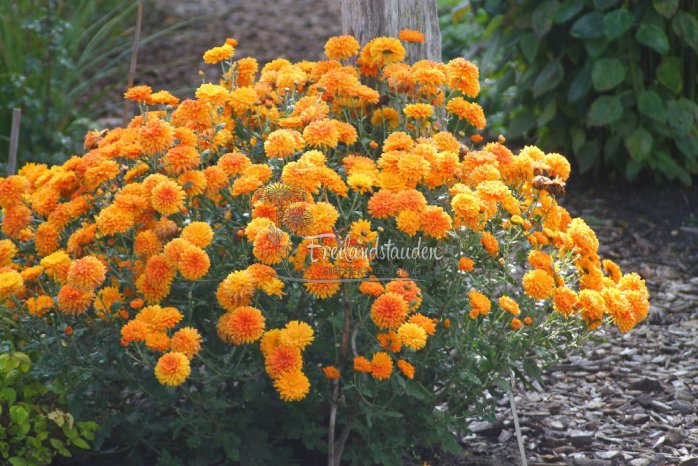 Chrysanthemum x hortorum ´Dixter Orange´