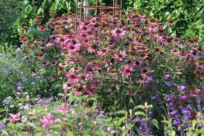 Echinacea purpurea ´Rubinstern´
